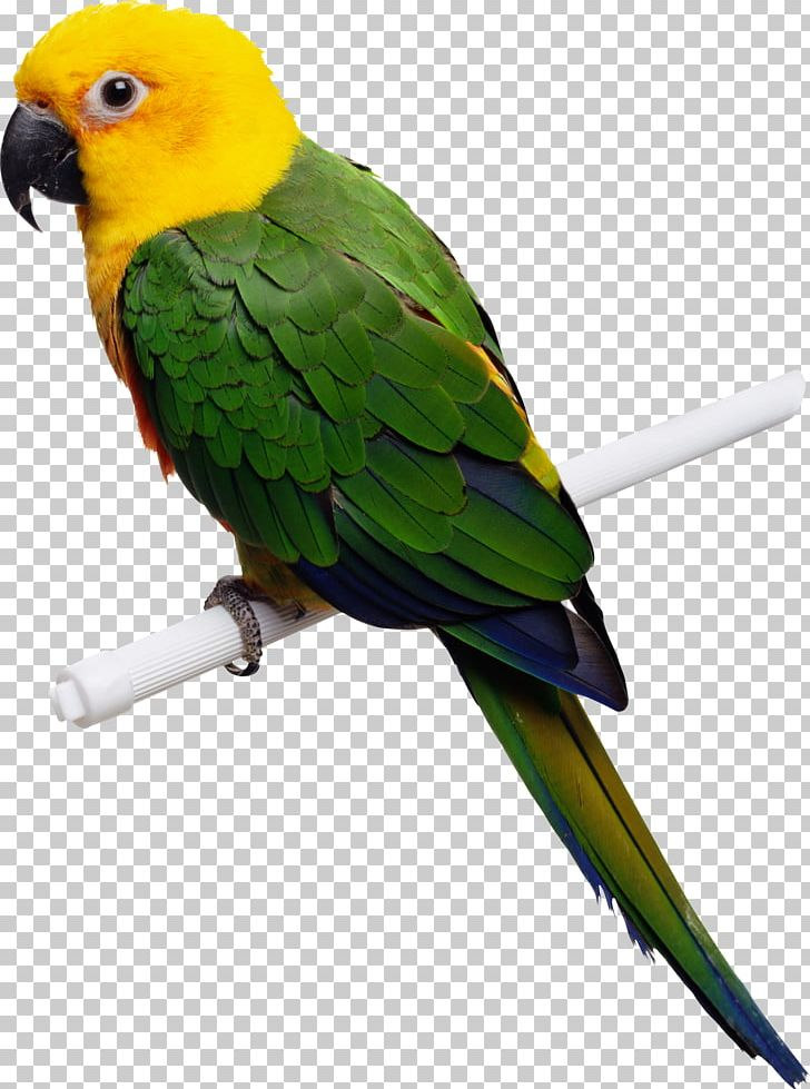 Parrot PNG, Clipart, Parrot Free PNG Download