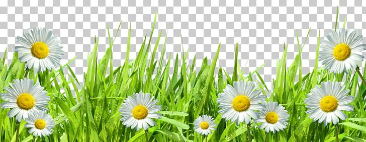 Roman Chamomile Grasses Hand Computer PNG, Clipart, Art, Chamaemelum Nobile, Clipart, Commodity, Common Daisy Free PNG Download