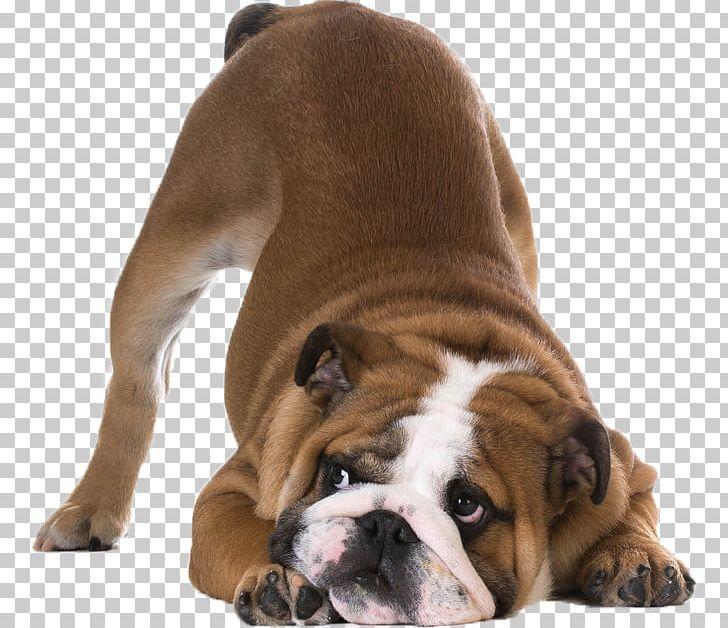 Bulldog Shar Pei Stock Photography Bayard The Bloodhound PNG