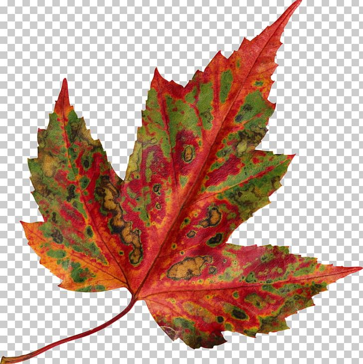 Red Maple Autumn Leaf Color Maple Leaf PNG, Clipart, Autumn, Autumn Leaf Color, Autumn Leaves, Color, Green Free PNG Download