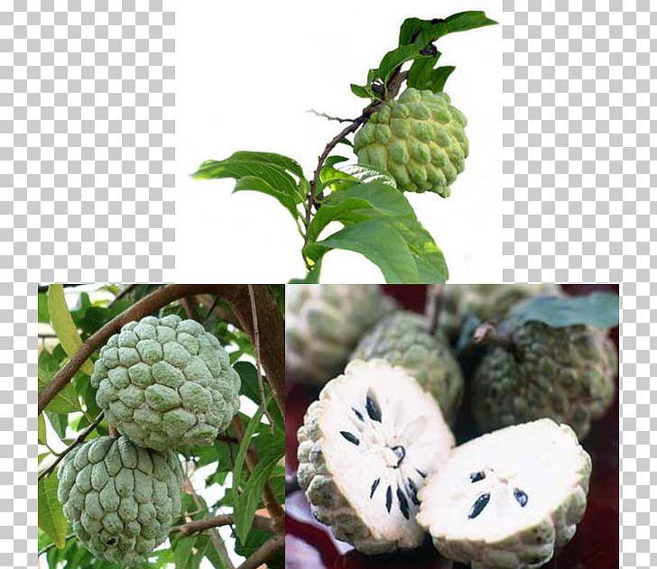 Sugar-apple Soursop Annona Squamosa Cherimoya Fruit PNG, Clipart, Annona, Annonaceae, Auglis, Banana, Cherimoya Free PNG Download