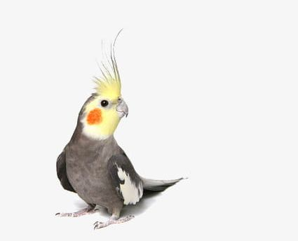 Parrot PNG, Clipart, Bird, Bird Yellow Crown, Blush, Crown, Parrot Free PNG Download