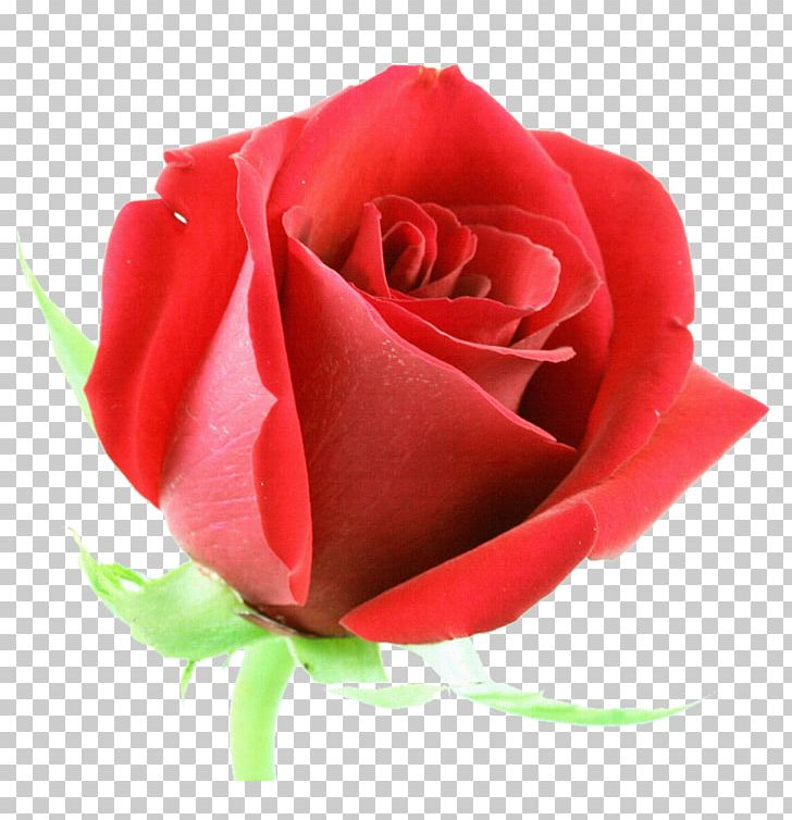 Rose Flower Red Stock Photography PNG, Clipart, Abstract, China Rose, Floral, Floribunda, Flowers Free PNG Download