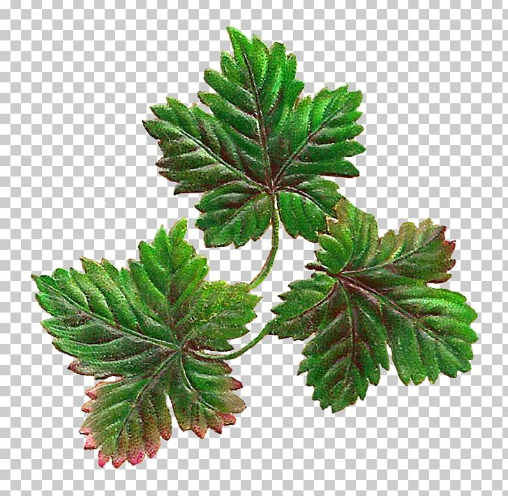 Maple Leaf Botany Autumn Leaf Color PNG, Clipart, Art, Autumn Leaf Color, Botany, Color, Color Photography Free PNG Download