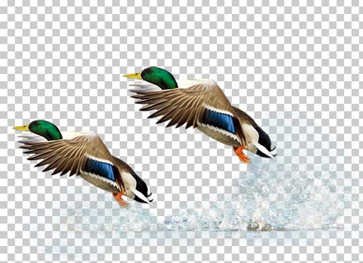 Mallard Duck Flight Bird PNG, Clipart, Adobe Illustrator, Animals