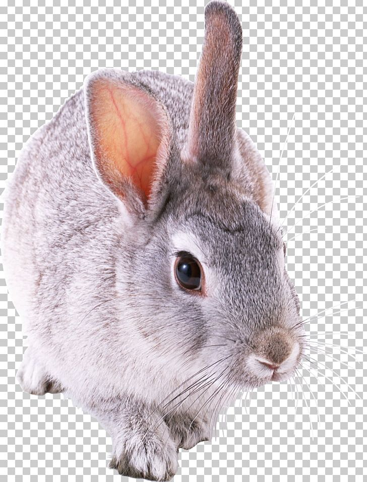 Rabbit PNG, Clipart, Rabbit Free PNG Download