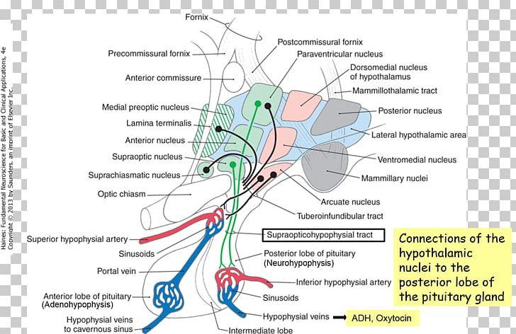 Anatomy Physiology Neuroscience Hypothalamus Organ PNG, Clipart
