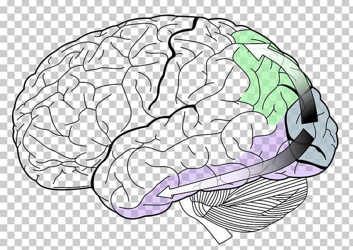 Lobes Of The Brain Occipital Lobe Temporal Lobe Visual Cortex PNG, Clipart, Area, Brain, Cerebral Cortex, Cerebrum, Frontal Lobe Free PNG Download