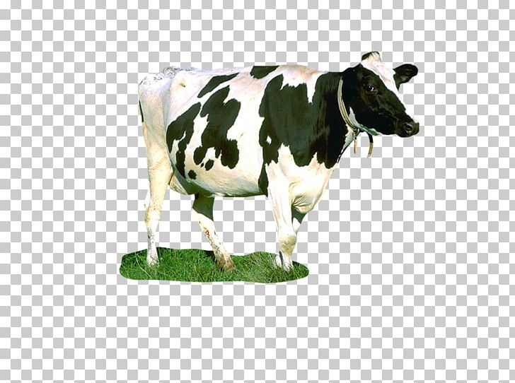 Dairy Cattle Milk Taurine Cattle Food Chain Cow PNG, Clipart, Animal