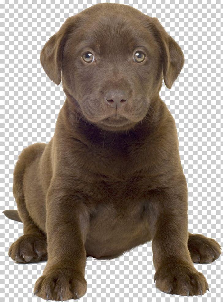 Labrador Retriever Puppy Golden Retriever Labrador Husky German