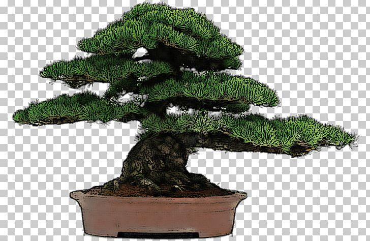 Chinese Sweet Plum Indoor Bonsai Tree Flowerpot PNG, Clipart