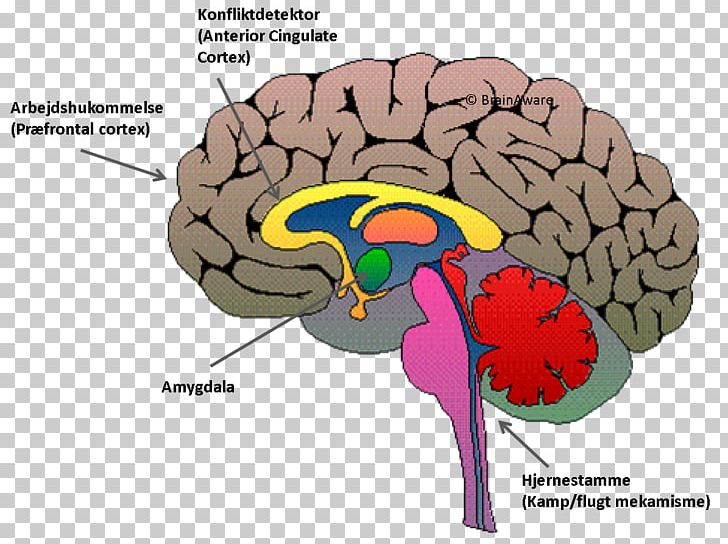 Brain Prefrontal Cortex And Amygdala - Aflam-Neeeak