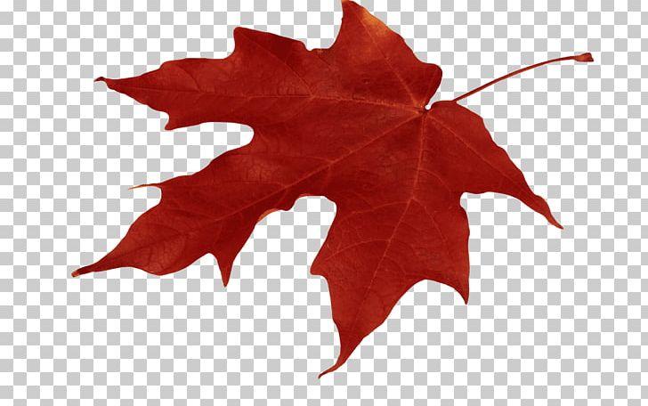 Autumn Leaf Color Red Maple Maple Leaf PNG, Clipart, Autumn, Autumn Leaf Color, Download, Flowering Plant, Image File Formats Free PNG Download