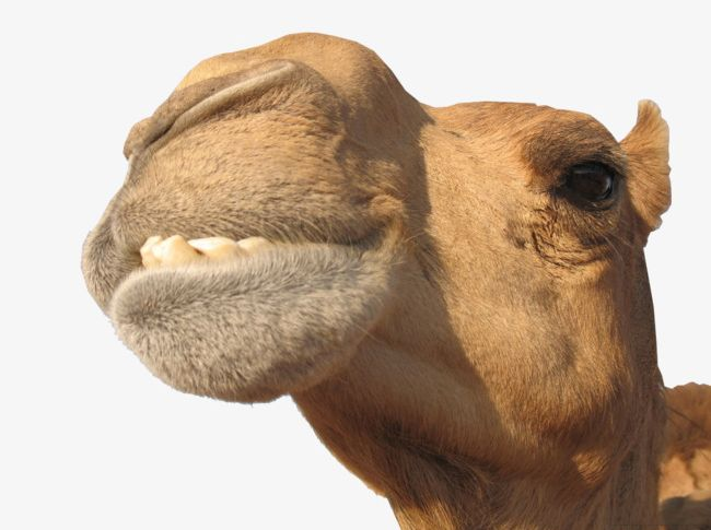Camel Creative PNG, Clipart, Animal, Animal Head, Arabia, Asia, Brown Free PNG Download