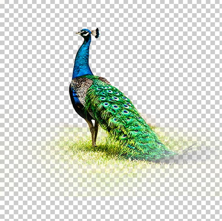 Peafowl Fenghuang PNG, Clipart, Animals, Asiatic Peafowl, Beak, Bird, Chinoiserie Free PNG Download