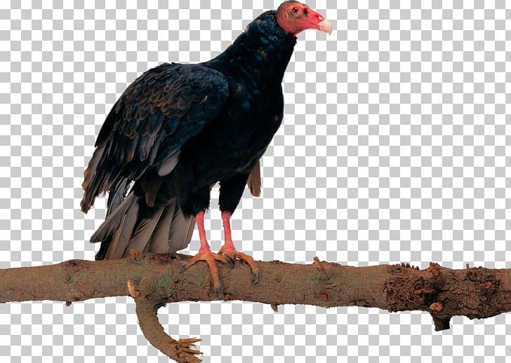 Bird Egyptian Vulture Eagle Hawk PNG, Clipart, Animal, Animals, Beak, Bird, Bird Of Prey Free PNG Download
