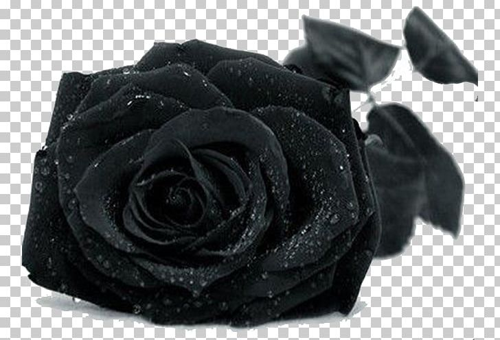 Black Rose Drop PNG, Clipart, Background Black, Black, Black And White, Black Background, Black Hair Free PNG Download