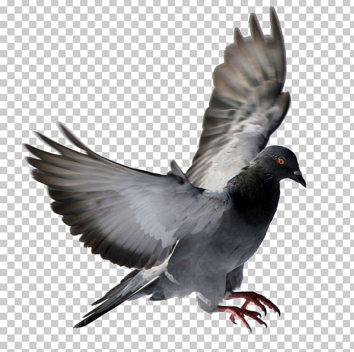 Rock Dove Columbidae Bird PNG, Clipart, Animals, Beak, Bird, Columbidae, Computer Icons Free PNG Download