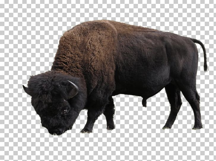 Elk Island National Park Wood Buffalo National Park American Bison PNG, Clipart, Alberta, American Bison, Animal, Animals, Bison Free PNG Download