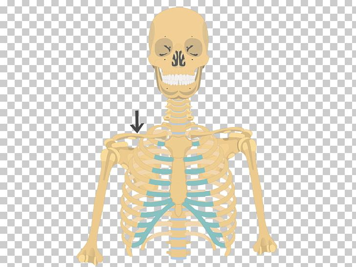 Rib Cage Human Skeleton Anatomy Clavicle PNG, Clipart