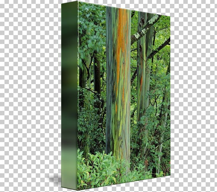 Rainbow Eucalyptus Trunk Northern Hardwood Forest Temperate Broadleaf And Mixed Forest PNG, Clipart, Aluminium, Biome, Deciduous, Forest, Grass Free PNG Download