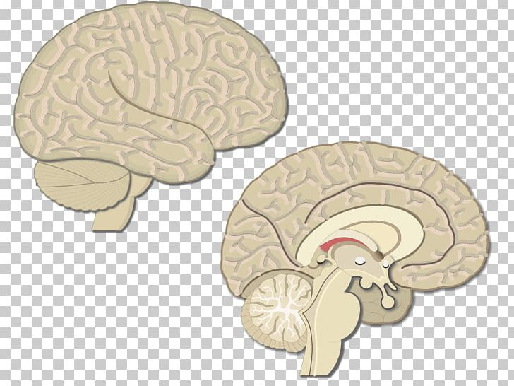 Brain Premotor Cortex Primary Motor Cortex Visual Cortex Cerebral Cortex PNG, Clipart, Brain, Cerebral Cortex, Cortex, Frontal Lobe, Gyrus Free PNG Download