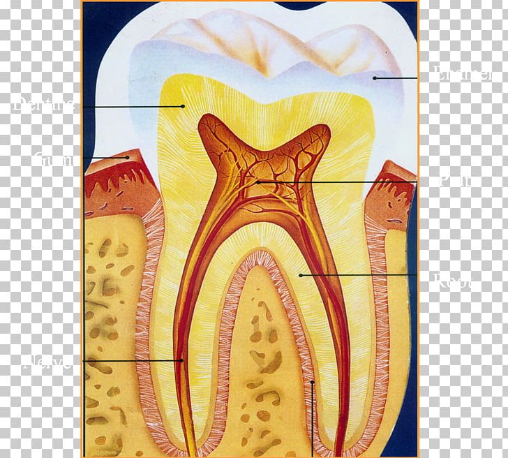 Human Tooth Endodontic Therapy Photography PNG, Clipart, Art, Deciduous Teeth, Dentin, Dentist Cartoon, Dentistry Free PNG Download