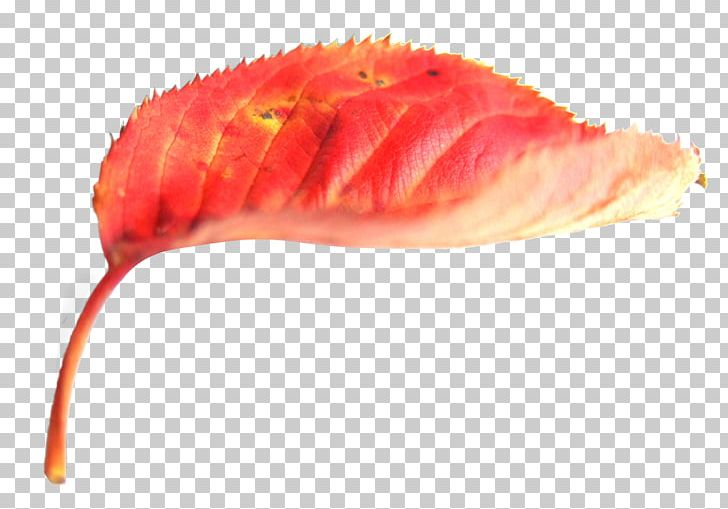 Autumn Leaf Color Red Deciduous PNG, Clipart, Akiba, Autumn, Autumn Elements, Autumn Leaf Color, Autumn Leaves Free PNG Download