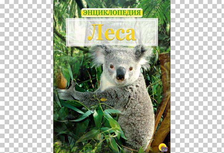 Baby Koalas Bear The Koala Koalas Australia PNG, Clipart