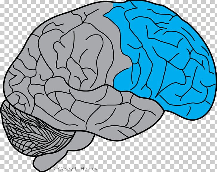Lobes Of The Brain Frontal Lobe Prefrontal Cortex Motor Cortex PNG, Clipart, Area, Brain, Brainstem, Casey, Cerebellum Free PNG Download