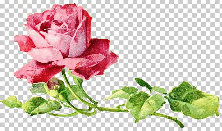 Garden Roses Cabbage Rose Floral Design Cut Flowers Petal PNG, Clipart, China Rose, Cut Flowers, Floral Design, Floristry, Flower Free PNG Download