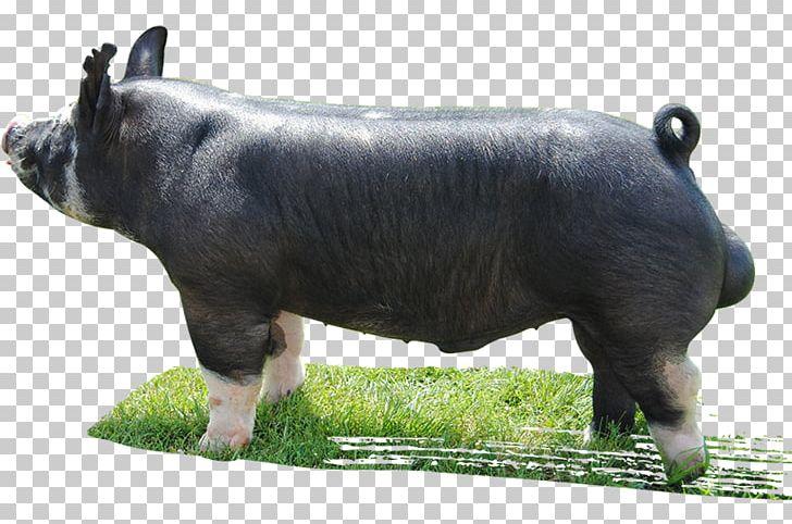 Berkshire Pig Cattle Livestock Mauck Show Hogs Herd Png