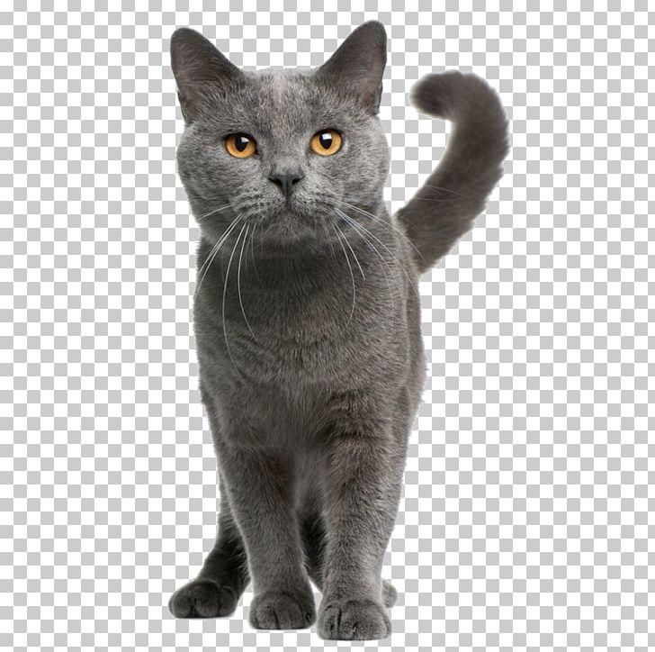 Chartreux Maine Coon British Shorthair European Shorthair Kitten Png Clipart Animals Carnivoran Cat Ear Cat Like