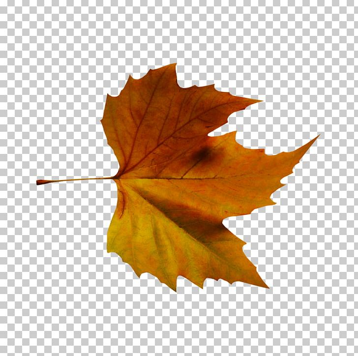 Autumn Leaf Color Tree Plant PNG, Clipart, Autumn, Autumn Leaf Color, Color, Deciduous, Iphonex Effects Psd Free PNG Download