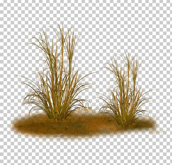 Ornamental Grass Feather Reed Grass Texture Mapping Plant Png Clipart Calamagrostis Flower Food Drinks Garden Grass
