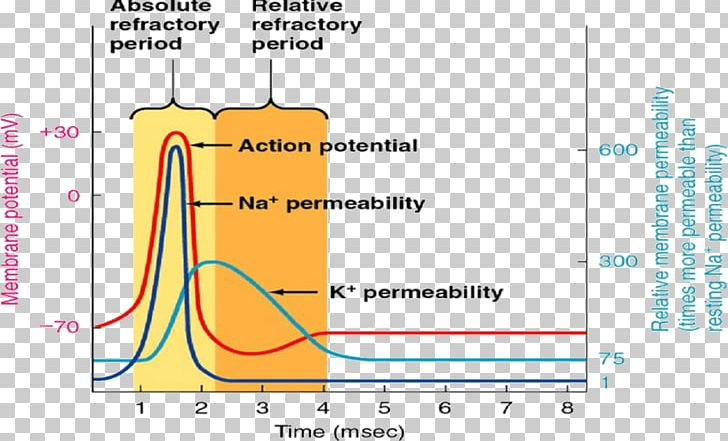 Refractory Period Neuron Action Potential Depolarization Cardiac Muscle Cell PNG, Clipart, Action Potential, Angle, Area, Cardiac Action Potential, Cardiac Muscle Free PNG Download