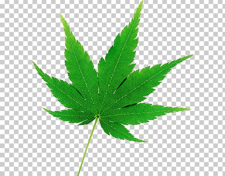 Cannabis Japanese Maple Hemp Drawing Autumn Leaf Color PNG, Clipart, Acer Japonicum, Autumn Leaf Color, Calla, Cannabis, Drawing Free PNG Download