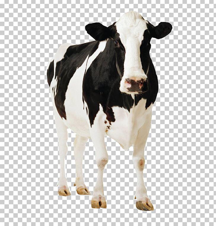 Holstein Friesian Cattle Sahiwal Cattle Deoni Cattle Jersey