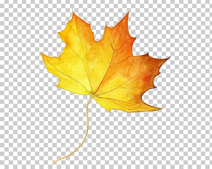 Drawing Maple Leaf Autumn Leaf Color Colored Pencil PNG, Clipart, Autumn, Autumn Leaf Color, Color, Colored Pencil, Drawing Free PNG Download