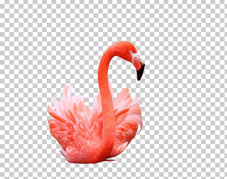 Flamingos Bird Shutterstock PNG, Clipart, Animals, Beak, Birds, Birds Photos, Cartoon Flamingo Free PNG Download