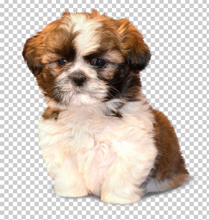 Morkie Shih Tzu Puppy Havanese Dog Schnoodle PNG, Clipart
