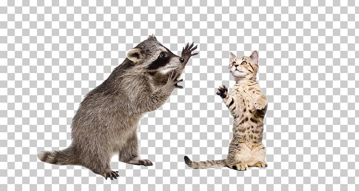 Raccoon Squirrel Stock Photography PNG, Clipart, Animal, Carnivoran, Cat, Cat Ear, Cat Like Mammal Free PNG Download