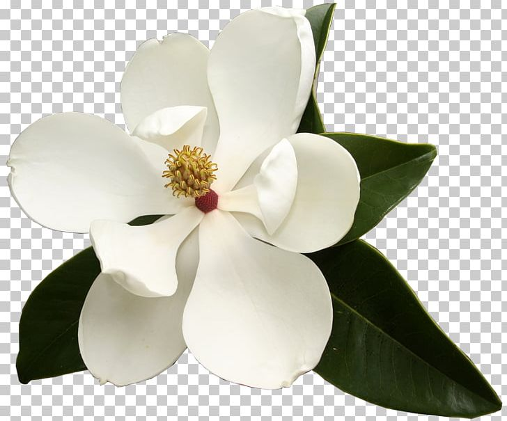 Southern Magnolia Virginia Sweetspire Flower Garden Club Evergreen