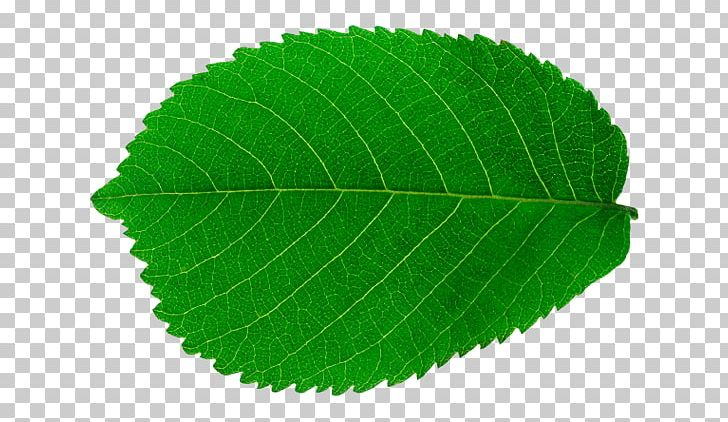 Look At Leaves Leaf Tree PNG, Clipart, Arecaceae, Computer Icons, Daun, Desktop Wallpaper, Elm Family Free PNG Download