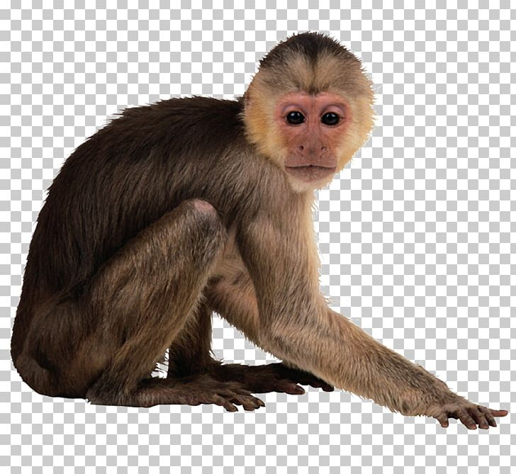 Capuchin Monkey Desktop PNG, Clipart, Animal, Animals