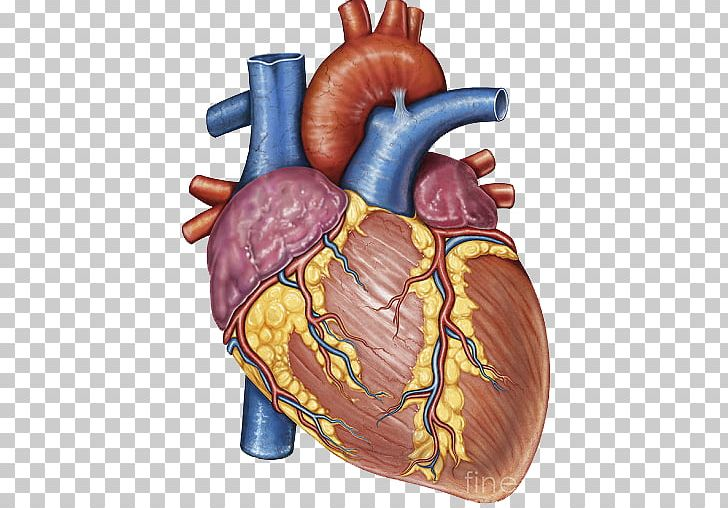 Stock Photography Heart Gross Anatomy Human Body PNG, Clipart, Anatomy, Blood Vessel, Canvas Print, Circulatory System, Desktop Wallpaper Free PNG Download