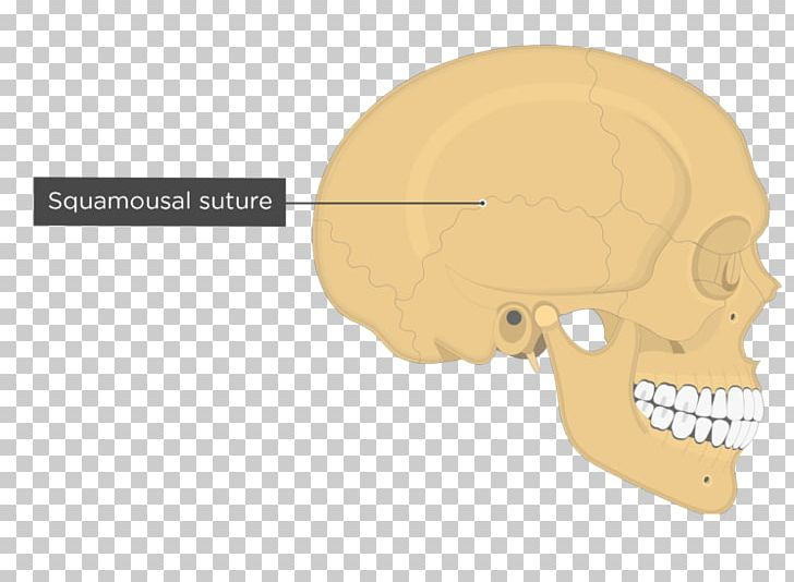 Temporal Line Parietal Bone Temporal Bone Temporal Lobe Skull PNG, Clipart, Anatomy, Angle, Bone, Ear, Fantasy Free PNG Download