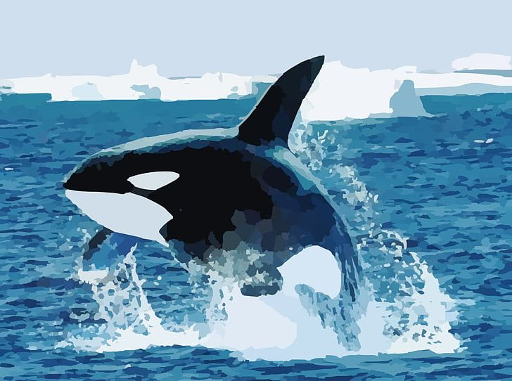 Baby Orca Shark Killer Whale Blue Whale PNG, Clipart, Animal