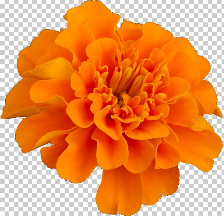 Mexican Marigold Flower Pot Marigold Plant Household Insect