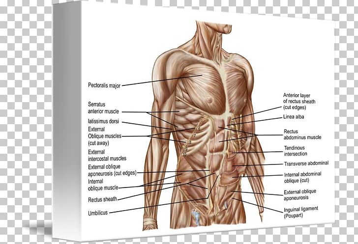 Rectus Abdominis Muscle Abdomen Human Body Human Anatomy Png
